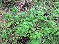 Lamium purpureum L. (AM AK330545-1).jpg