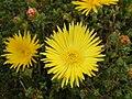Lampranthus glaucus (1).jpg