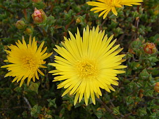 <i>Lampranthus glaucus</i> species of plant
