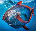 Lampris guttatus NOAA2cr.jpg