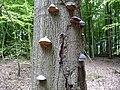 Landschaftsschutzgebiet Horstmanns Holz Melle -Umgestürzter Baum- Datei 5.jpg