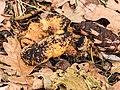 Lantaarnzwam (Omphalotus illudens) tussen afgevallen blad in verval 02.jpg