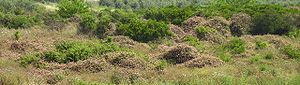 Invasive species - Lantana growing in abandoned citrus plantation; Moshav Sdei Hemed, Israel