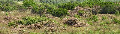 Lantana invasion of abandoned citrus plantation; Moshav Sdey Hemed, Israel