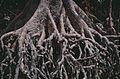 Large-leafed Orange Mangrove (Bruguiera gymnorhiza) (9734144898).jpg