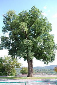 Large English Elm at West Point, NY 4 Sep 2009.jpg
