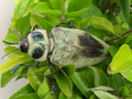 Large beetle from Brasília, Brazil 8.png