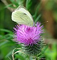 Large white (Pieris brassicae) on thistle flower - geograph.org.uk - 1428110.jpg