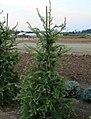 Larix kaempferi 07.jpg