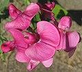 Lathyrus latifolius (perennial pea) (Caldwell, Ohio, USA) 4 (27727622226).jpg