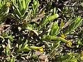 Lava dubautia, Dubautia ciliolata ssp. glutinosa (17073494792).jpg