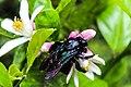 Lebah Kayu.jpg