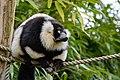 Lemur (26992462158).jpg