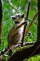 Lemur (27301512347).jpg