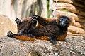 Lemur (36476983321).jpg