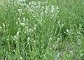 Lepidium campestre kz17.jpg