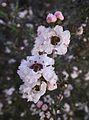 Leptospermum scoparium snow white.jpg