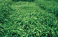 Les Plantes Cultivades. Cereals. Imatge 3200.jpg