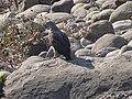 Lesser Fish Eagle - Icthyophaga humilis - DSC04900.jpg