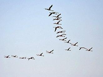 Lesser flamingo - Image: Lesser Flamingos I Chilika IMG 9298
