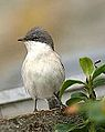 Lesser whitethroat - North Ronaldsay 0910 (8260978043).jpg