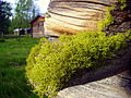 Letharia vulpina-Lillhärdal.jpg