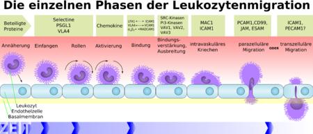 Leukocyte extravasation - Wikipedia
