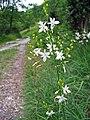 Leutratal-Anthericum-ramosum-118.jpg