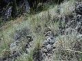 Leymus ambiguus var. salmonis (5063061510).jpg