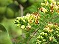 Libidibia coriaria - Divi-divi Tree - Caesalpinia coriaria - WikiSangamotsavam 2018, Kottappuram, Kodungalloor (19).jpg