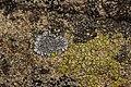 Lichen (29133304408).jpg