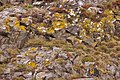 Lichen on rocks, Lindisfarne - geograph.org.uk - 1231791.jpg