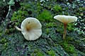 Lichenomphalia umbellifera (35165).jpg