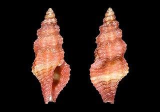 <i>Lienardia</i> genus of molluscs