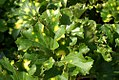 Ligularia tussilaginea Aureomaculata 0zz.jpg