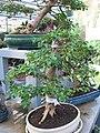 Ligustrum bonsai in a garden centre (14 years old).jpg