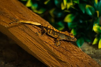 Crested gecko - This captive crested gecko has a tricolor extreme harlequin pattern that is not found in the wild.