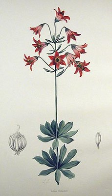 Lilium bolanderi, Illustration