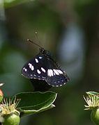 LimenitisReducta 1961Z.jpg