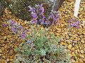 Linaria alpina2.jpg