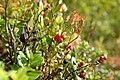 Lingonberries (121130685).jpeg