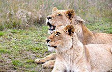 Lions at Botlierskop Private Game Reserve in South Africa