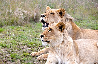 Game reserve - Lion couple at Botlierskop Game reserve