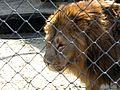 Lion male in zoo park.jpg