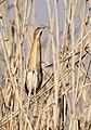 Little bittern, Ixobrychus minutus, at Marievale Nature Reserve, Gauteng, South Africa (14434896722).jpg