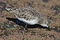 Little stint, Calidris minuta (Erolia minuta), at Marievale Nature Reserve, Gauteng, South Africa (45489023302).jpg