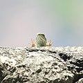 Lizard near Grenoble 25-07-2020.jpg