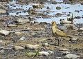 Ljungpipare European Golden Plover (14796184897).jpg