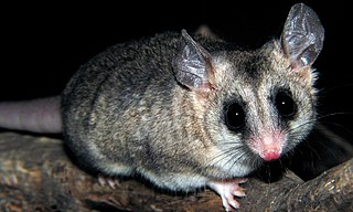 Elegant fat-tailed mouse opossum species of mammal