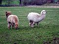 Llamas (2208566439).jpg